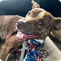 Adopt A Pet :: Bella Hadid - Jersey City, NJ