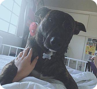 Prince   Adopted Dog   San Diego, CA   Australian Shepherd ...