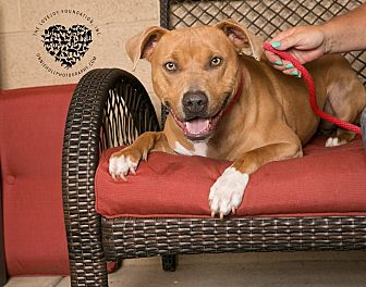 Pit Bull Terrier/Hound (Unknown Type) Mix Dog for adoption in Inglewood, California - Clyde