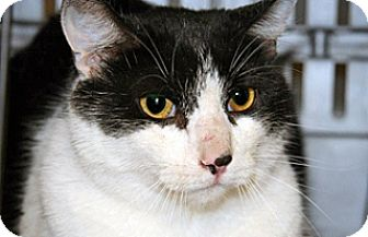 Domestic Shorthair Cat for adoption in Wildomar, California - Bullet
