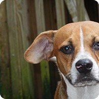 Beagle Mix Dog for adoption in Old Town, Florida - Regie