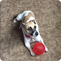 Jack Russell Terrier Dog for adoption in Blue Bell, Pennsylvania - Ada