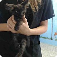 Domestic Mediumhair Kitten for adoption in San Bernardino, California - A497129