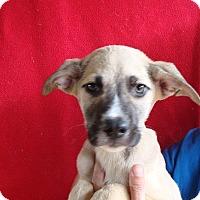 Adopt A Pet :: Izzy - Oviedo, FL