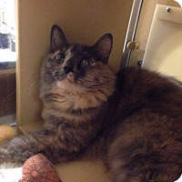 Calico Cat for adoption in El Dorado Hills, California - Lucy Lou