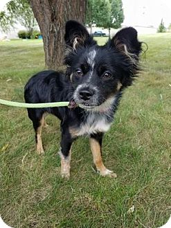 Chihuahua Mix Dog for adoption in Plainfield, Illinois - Maggie
