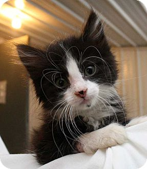 Domestic Shorthair Kitten for adoption in Fort Madison, Iowa - Soul
