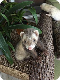 Ferret for adoption in Paramus, New Jersey - Cinnamon