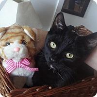 Adopt A Pet :: RONRON -Purring LAP KITTY - New York, NY