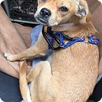 Adopt A Pet :: Adelaide - Gardena, CA