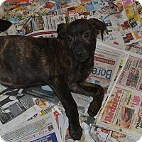 Plott Hound/Hound (Unknown Type) Mix Puppy for adoption in Broadway, New Jersey - Rex