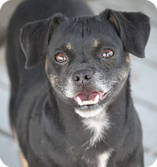 Pug/Terrier (Unknown Type, Small) Mix Dog for adoption in Hooksett, New Hampshire - Bimbo Eads - ADOPTED!