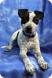 Blue Heeler Mix Puppy for adoption in Westminster, Colorado - FABIAN