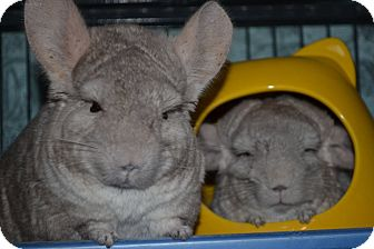Chinchilla for adoption in Patchogue, New York - Ella