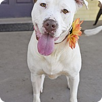 Adopt A Pet :: Aggie - Knoxville, TN