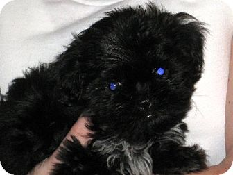 Shih Tzu Puppy for adoption in Greenville, Rhode Island - Sheng Li