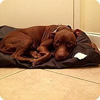 Adopt A Pet :: Foxy Cleopatra - Hollywood, FL