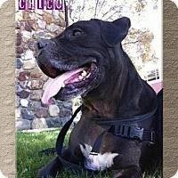 Adopt A Pet :: Chico Meatball - Lompoc, CA