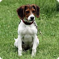 Adopt A Pet :: Harlow - Staunton, VA