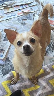 Chihuahua Mix Dog for adoption in Fresno, California - Finn