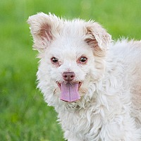 Adopt A Pet :: Dusty - Washoe Valley, NV