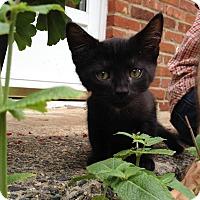 Adopt A Pet :: Yoda - Gainesville, VA