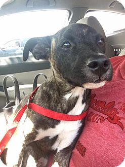 Terrier (Unknown Type, Medium)/Boxer Mix Puppy for adoption in Florence, Kentucky - Cletus
