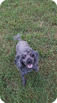 Poodle (Toy or Tea Cup) Dog for adoption in Alpharetta, Georgia - Sophie