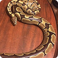 Adopt A Pet :: Jafar - Patterson, NY