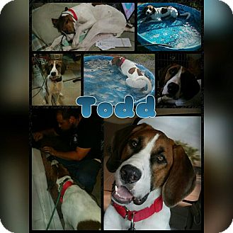 Treeing Walker Coonhound/Great Dane Mix Dog for adoption in Mesa, Arizona - Todd
