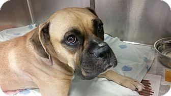 Boxer Dog for adoption in Austin, Texas - Lark