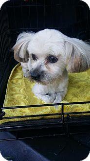Yorkie, Yorkshire Terrier/Maltese Mix Dog for adoption in Orange, California - Teddy