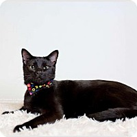Domestic Shorthair Cat for adoption in DFW Metroplex, Texas - Ron