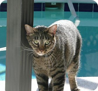 Domestic Shorthair Cat for adoption in Oviedo, Florida - Acha