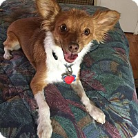 Chihuahua Mix Dog for adoption in Las Vegas, Nevada - Mimi