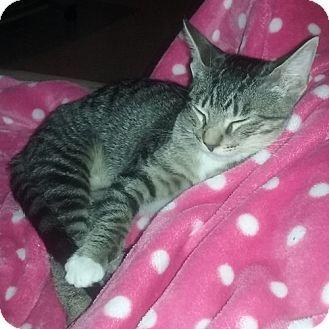 Domestic Shorthair Cat for adoption in Dallas, Texas - DIPPER