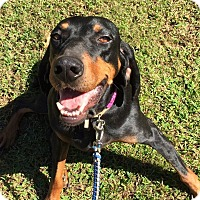 Black and Tan Coonhound Mix Dog for adoption in CUMMING, Georgia - Hannah