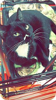 Domestic Shorthair Kitten for adoption in Abbeville, Louisiana - Brittian