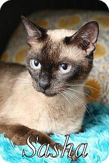 Siamese Cat for adoption in knoxville, Tennessee - Sasha $45 Female