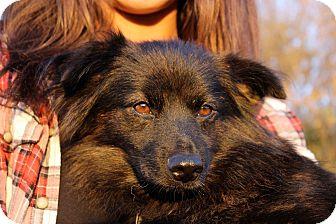 Pomeranian Dog for adoption in Middleton, Wisconsin - Leia