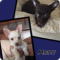 Adopt A Pet :: Matty - Scottsdale, AZ