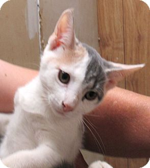 Calico Kitten for adoption in Reeds Spring, Missouri - Daisy