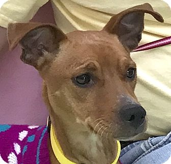 Miniature Pinscher Mix Dog for adoption in Evansville, Indiana - Zelda