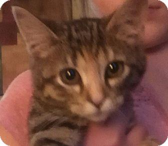 American Shorthair Kitten for adoption in Logan, Ohio - LUCY