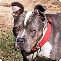 Pit Bull Terrier Mix Dog for adoption in Fairfax, Virginia - Molly
