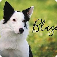 Adopt A Pet :: Blaze - Joliet, IL