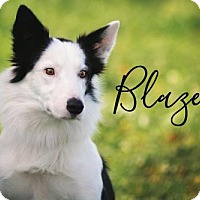 Border Collie Dog for adoption in Joliet, Illinois - Blaze