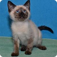 Adopt A Pet :: Malutki - Lenexa, KS