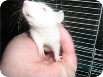 Rat for adoption in Cincinnati, Ohio - Maddie