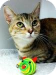 Domestic Shorthair Cat for adoption in Red Bluff, California - Sangria